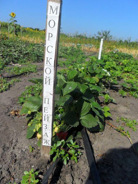 Как правильно посадить клубнику на